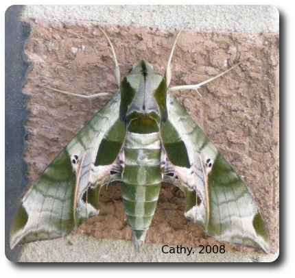 Sphinx moths are attracted to light and are sometimes found resting on buildings.