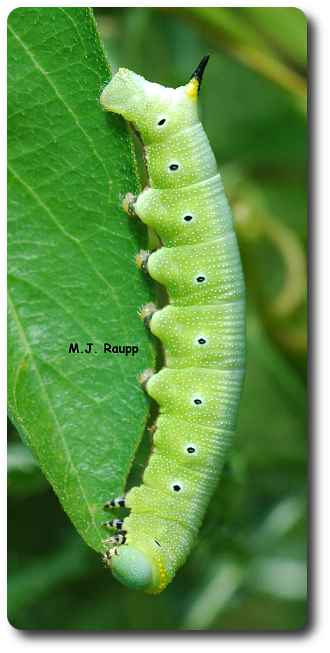 Caterpillars of hummingbird moths are called homworms for obvious reasons.