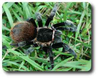 Spiders like this tarantula have two distinct body regions. Note the impressive hairy fangs.