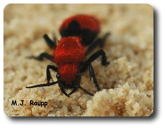 Powerful jaws help the velvet ant defend itself.