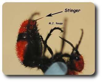 """Wow! With a stinger like that, no wonder she is called a """"cow killer""""."""