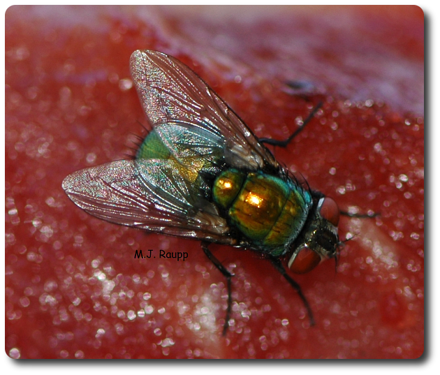 Blow flies often have many stout spines and metallic coloration.