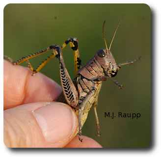 "When hassled by predators on entomologists, grasshoppers regurgitate ""tobacco juice"", a noxious mixture of defensive chemicals derived from plants."