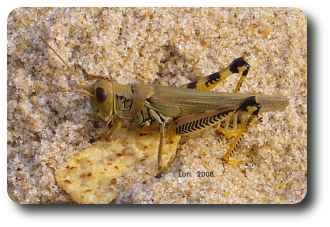 Differential grasshoppers were chilling on the beach last week.