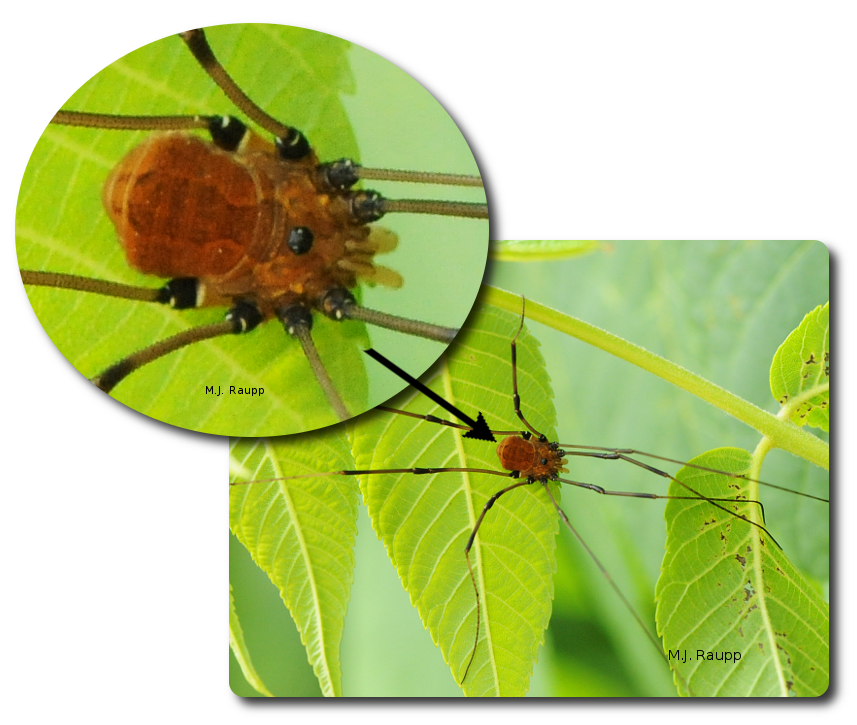 Harvestmen appear to have a single body region.