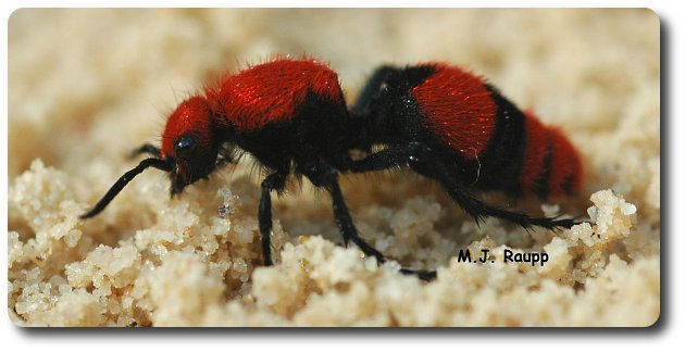 Female velvet ants search for bumble bee nests in sandy soil.