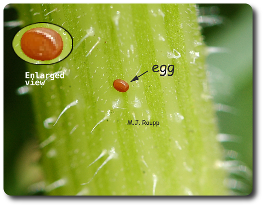 Tiny caterpillars will hatch from reddish eggs deposited by the female squash vine borer.