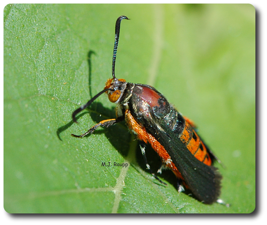 A female squash vine borer takes a break between bouts of laying eggs.