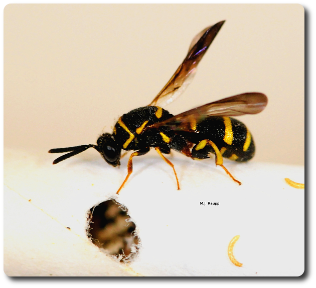 After dining on a mason bee as a larva, a male leucospid wasp escapes from a bee tube by chewing its way out.