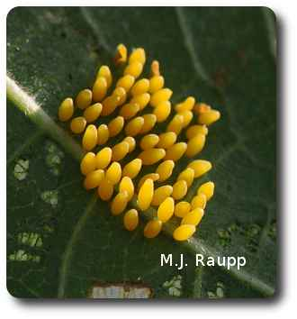 Mexican bean beetle eggs are laid in large clusters.