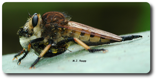 With a bumble bee neatly tucked between it's legs, this robber fly sucks the fluids of it's victim.