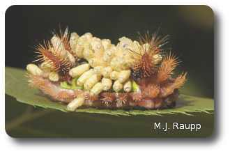 Dozens of wasp cocoons adorn the back of this saddleback caterpillar.