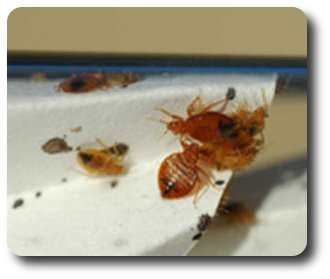 Bedbug nymphs and adults chillin' in a bottle waiting to be fed.