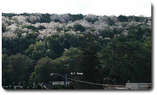 A hillside near Kutztown, PA is shrouded by fall webworm nests.