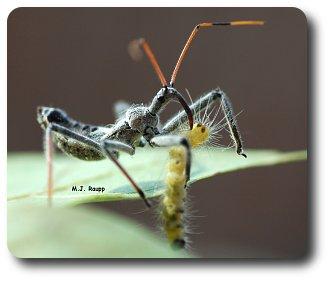 An assassin bug nymph deals death to a fall webworm caterpillar.
