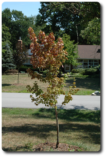 Premature fall colors and a bowed trunk are symptoms of serious problems.