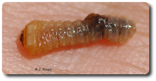 This legless roundheaded borer larva destroyed vital, delicate tissues beneath the bark of the tree.