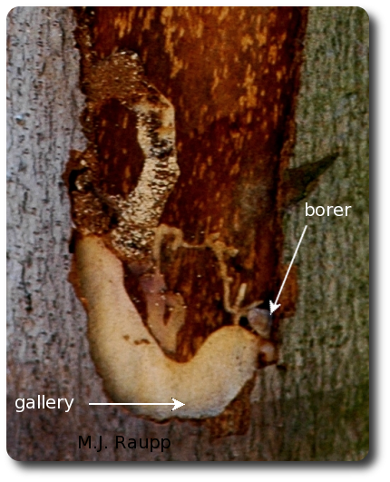 The tail of the borer can be seen where the gallery disappears beneath the bark. The large brown patch beneath the bark is missing life-sustaining tissue.