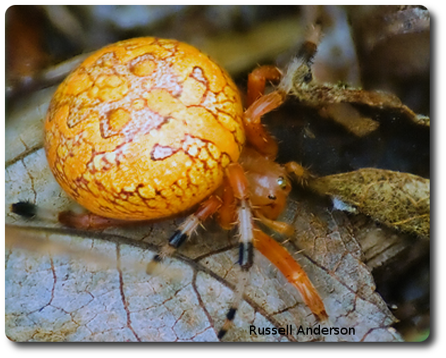 Marbled orb weavers sometimes drop to the ground when disturbed. Photo credit: Russell Anderson