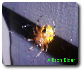 A marbled orb weaver rests in the venter of its web in Allison's backyard. Photo credit: Allison Elder.