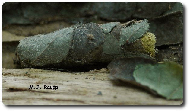 Small rolls of leaves packed with pollen are the brood chambers of leaf cutter bees.