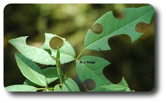Rose leaves are one of the favorite sources of building materials for leaf cutter bees.