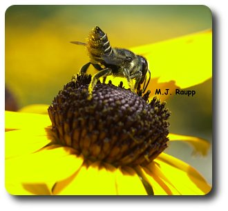 A very hairy belly helps the leaf cutter bee carry a load of pollen back to the nest.