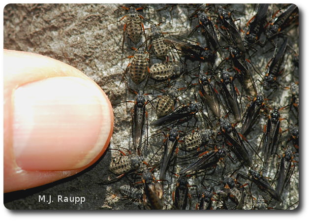 Some adult giant bark aphids have wings and others do not. These are the largest aphids in North America.
