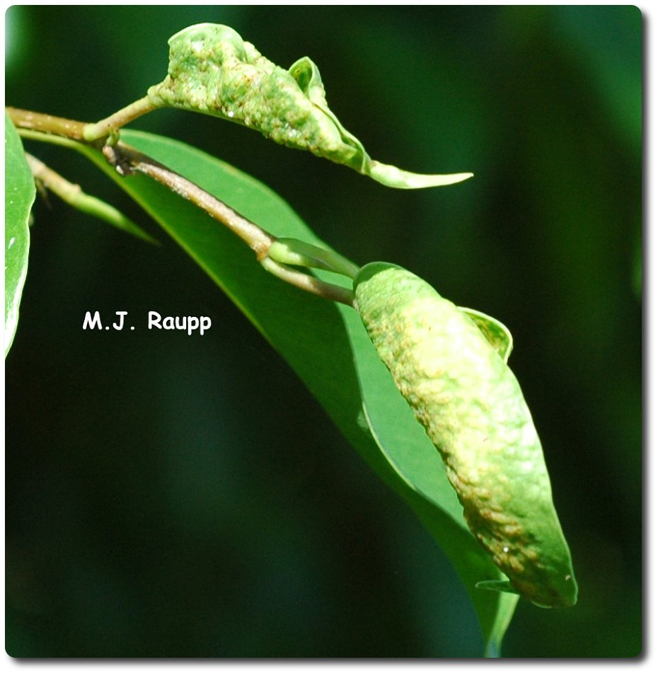 Curled, off-color leaves of ficus are a sign of the Cuban laurel thrips hiding within.