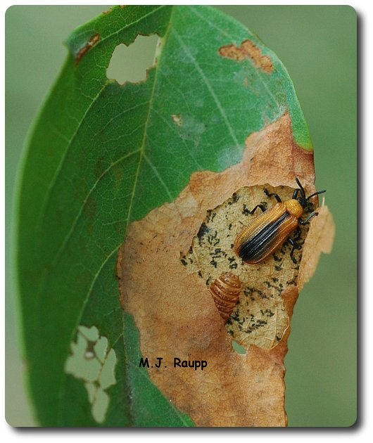 Ready to continue the feast on locust this adult leafminer emerges from its pupal case.