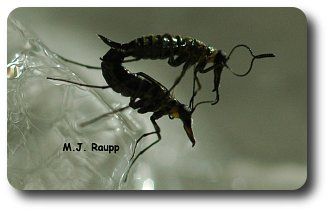Not snow or ice can cool romance between male and female snow scorpionflies.