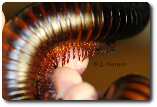 Two pairs of legs on each body segment is a hallmark of the millipede.