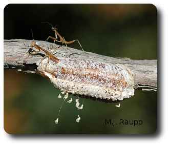 Tiny mantids emerge from their egg case and hunt small insects in spring.
