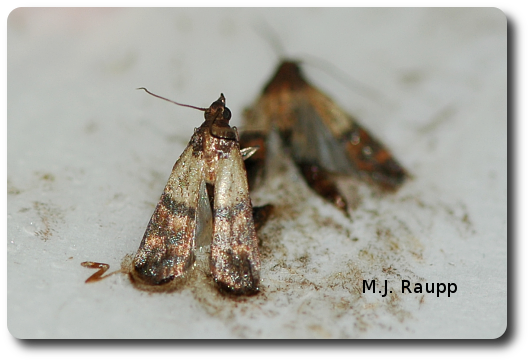 Adult Indian meal moths like these two stuck in a pheromone trap often flutter about pantries and cupboards.