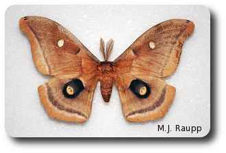 Eyespots on the wings of Polyphemus might startle a would-be predator.