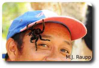 After receiving a minor bite from this large tarantula, a gardener takes a closer look.
