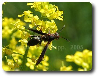 Paper wasps eat nectar and many pests of plants in landscapes and gardens.