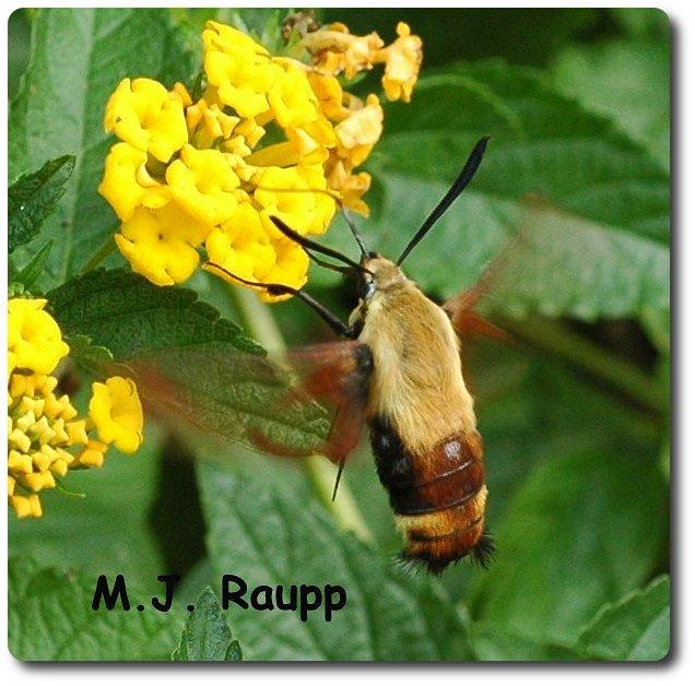 The hummingbird moth sips nectar with a long proboscis.