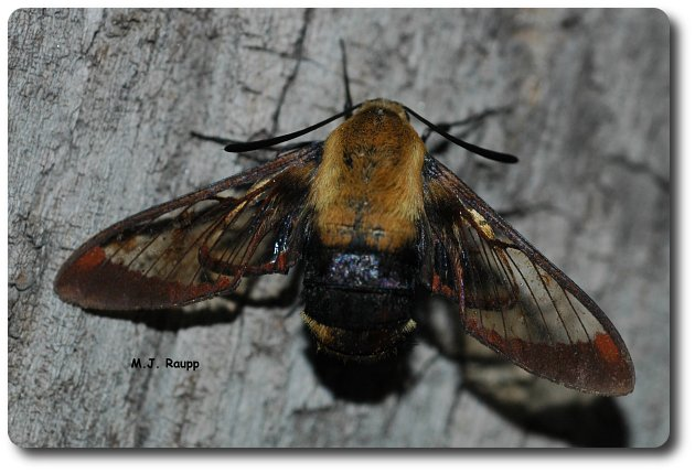 A hummingbird moth warms in the morning sun on an old log.