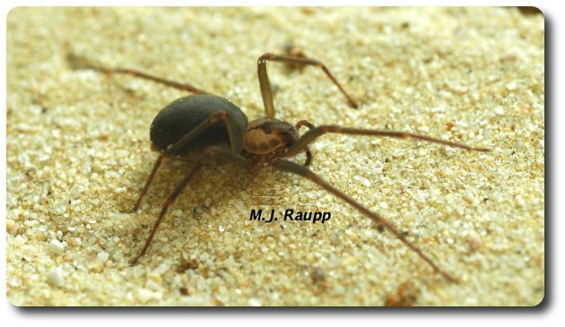Even when missing a couple of legs, this brown recluse had no problemcapturingand subduing her prey.
