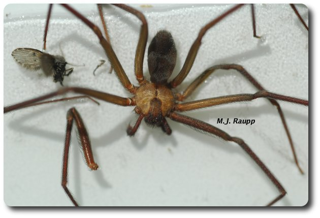 The fiddle-shaped mark on the back of the brown recluse is useful in identifying this species.
