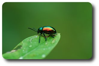 Chrysocus auratus  getting a dose of poison from a leaf of dogbane.
