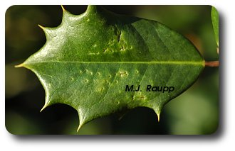Punctures on the leaf surface indicate where the female pierced the leaf surface to feed.