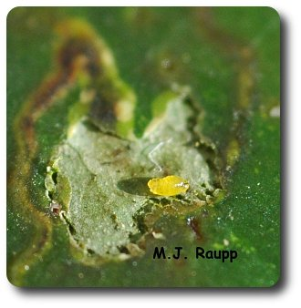 Peeling back the leaf surface reveals the tiny yellow holly leaf miner larva feeding in the gallery below.