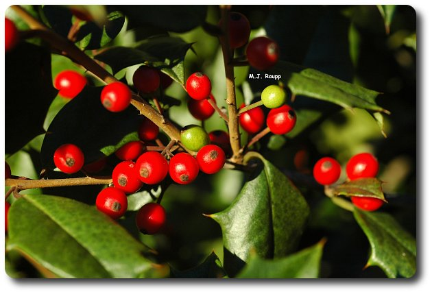 Green berries are a sign of holly berry midge.