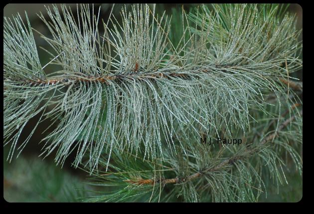 Pine needle scales turn this Christmas tree white.
