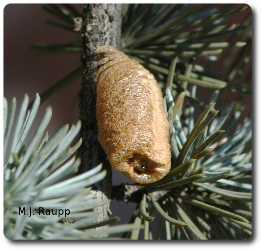 This brown egg case or ootheca contains scores of eggs that will survive the winter and hatch in the spring.
