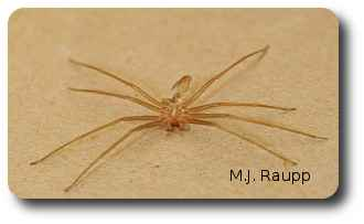 Shed skins are sometimes more commonly seen than the spider itself.