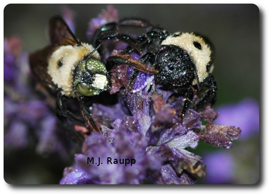 The morning dew glistens on the hairs of the yellow-faced male carpenter bee on the left and black-faced female carpenter bee on the right.