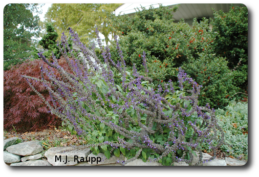 This large sage plant serves as a nocturnal roost for many carpenter bees.